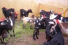 cattle-like mammal, animal, dairy, mammal, goats, domestic goat,