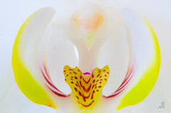 Yellow and Red Phalaenopsis Orchid