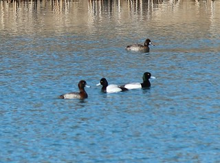 Greater and Lesser Scaups