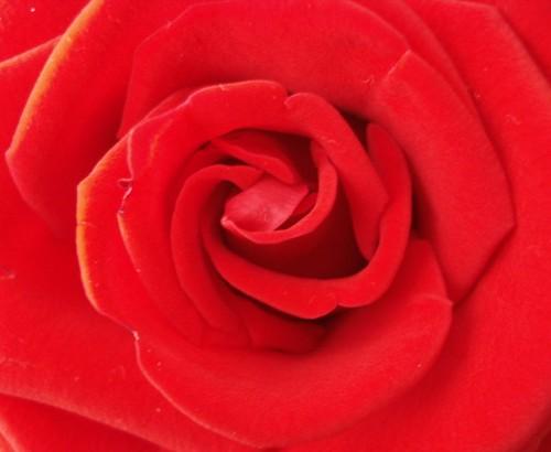 A rosa vermelha!