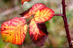 blackberry leaves in autumn    MG 6037