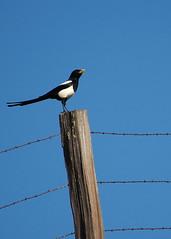 swallow(0.0), eurasian magpie(0.0), animal(1.0), wing(1.0), fauna(1.0), blue(1.0), bird(1.0), magpie(1.0),