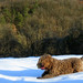 Moka, the Lagotto Romagnolo mother