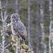 Great Gray Owl by Jim McCree