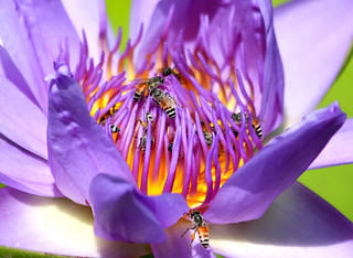 Captive,,, bee,sssssss (lotus flower)