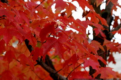red autumn leaves    MG 4545
