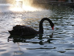 winter(0.0), animal(1.0), black swan(1.0), water bird(1.0), swan(1.0), water(1.0), reflection(1.0), bird(1.0), wildlife(1.0),