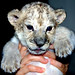 Baby lions by floridapfe