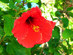 rosa chinensis(0.0), annual plant(1.0), shrub(1.0), flower(1.0), red(1.0), plant(1.0), flora(1.0), chinese hibiscus(1.0), petal(1.0),