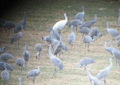 Whooping Crane 3