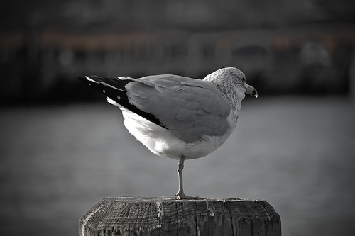 One Legged Seagull