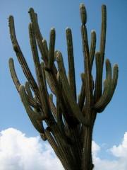Curaçao Cactus