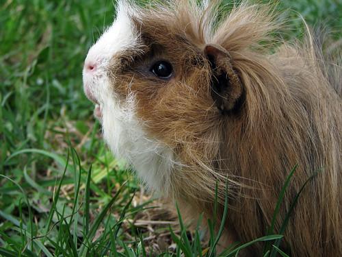 Guinea Pig by ruslan4yk