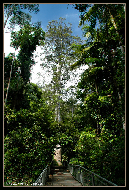 Perhaps Once The Tallest Tree in NSW ?? - Eucalyptus grandis - Flooded Gum (The Grandis)