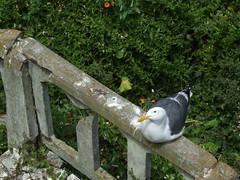 Fat sea gulls