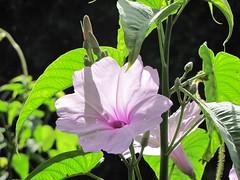 flower, ipomoea alba, plant, macro photography, flora, green,