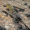 "<a href=""http://www.flickr.com/photos/jroldenettel/5706830918/"">Photo of Agama planiceps by Jerry Oldenettel</a>"