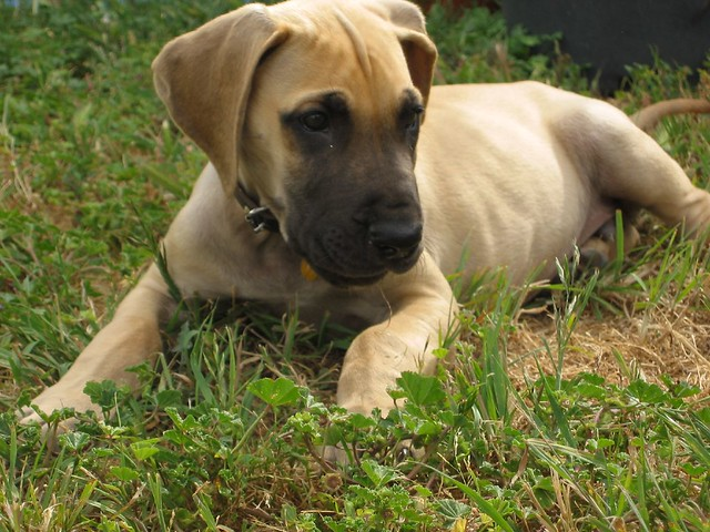 great dane puppy | Flickr - Photo Sharing!