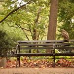 Hawk in Washington Square