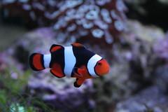 coral reef, animal, anemone fish, coral, fish, coral reef fish, marine biology, macro photography, close-up, underwater, reef,