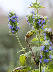 Salvia hispanica plant