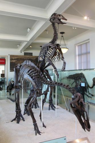 NYC – AMNH: Hall of Ornithischian Dinosaurs – Styracosaurus