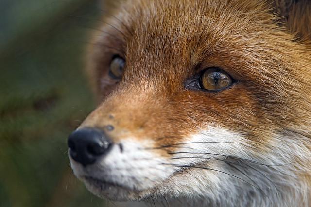 Fox very close!