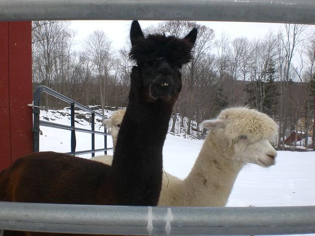 Header of Alpacas