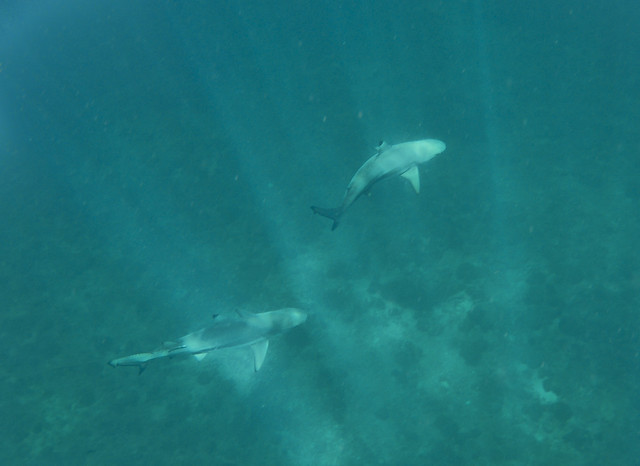 Blacktip Reef Shark, Palong North