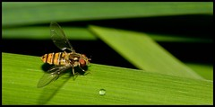 Hover Fly and Water Drop