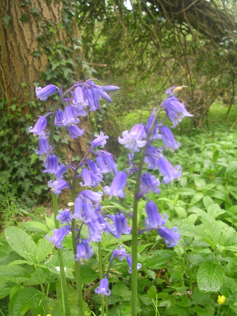 Bluebells Calleva. Mortimer to Aldermaston