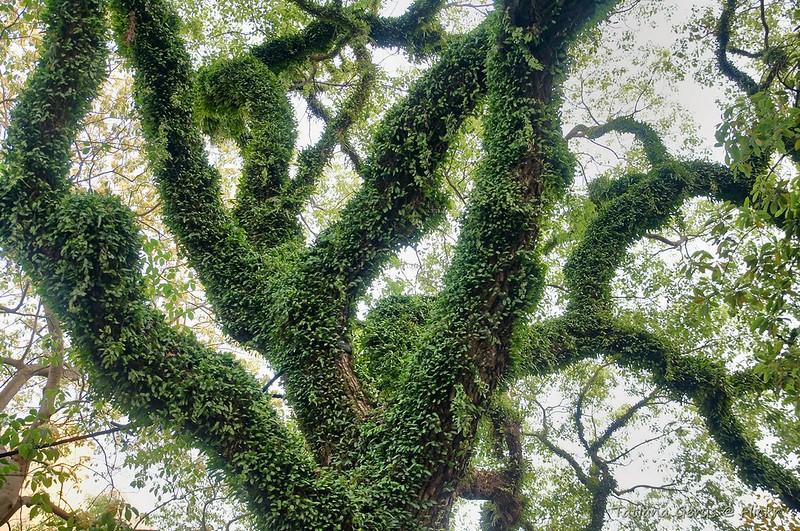 Full of life. Rain tree in Hong Kong park