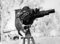 A black and white photo of a possum hanging on to the back of an old-fashioned film movie camera