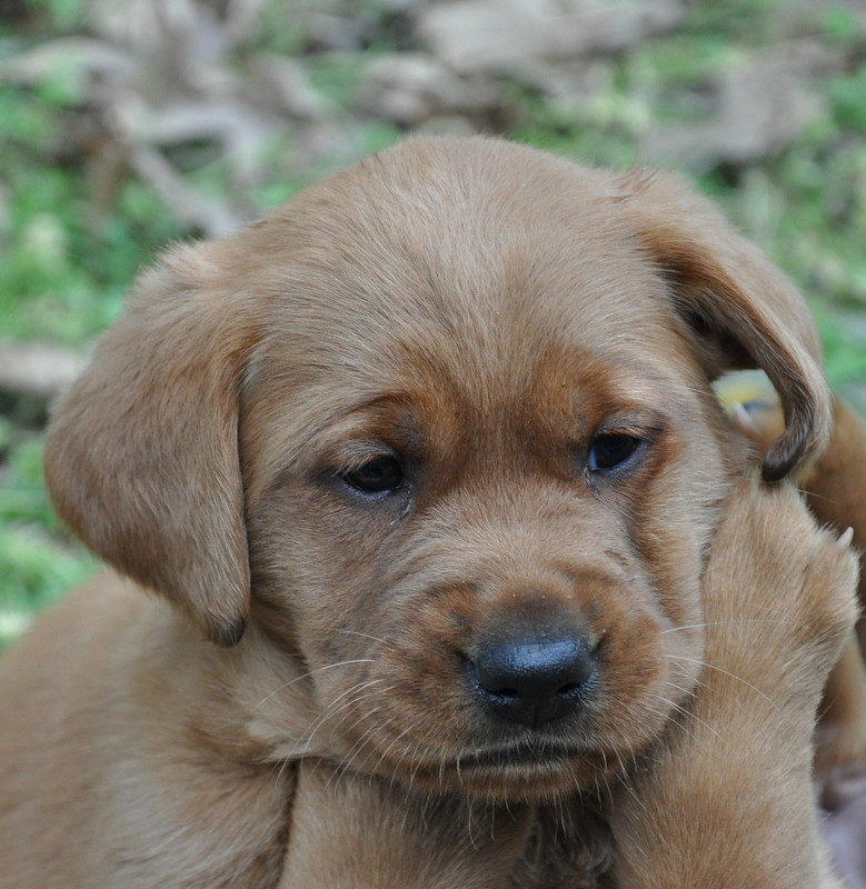 Red's Fox Red Labrador Puppy | Red Moon's Fox Red Labradors | Flickr