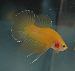 Trad PK Gold Yellow M - Betta-Online