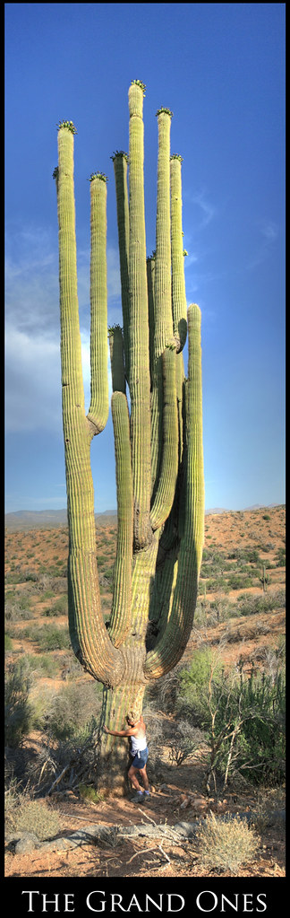 World's Largest Saguaro