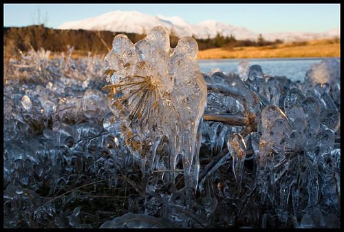 Frozen Angelica II