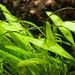 Ranalisma rostrata - Low Light