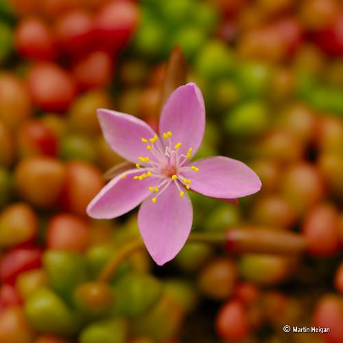Anacampseros subnuda var. lubbersii flower
