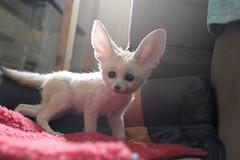 Scout - Fennec Fox