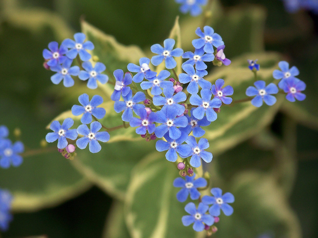 Close-up of Brunnera Bloom