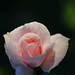 Sweet Baby Pink Rose Looks up to Heaven, Where Grandma Resides