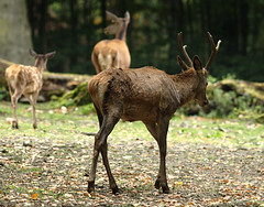 prairie(0.0), white-tailed deer(0.0), animal(1.0), deer(1.0), horn(1.0), fauna(1.0), elk(1.0), musk deer(1.0), wildlife(1.0),