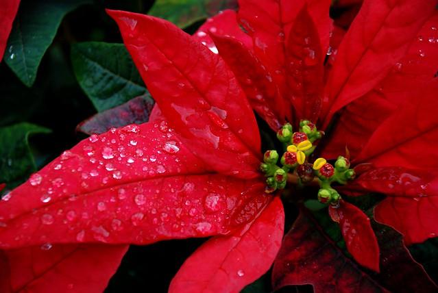 Flor De Noche Buena Flickr Photo Sharing