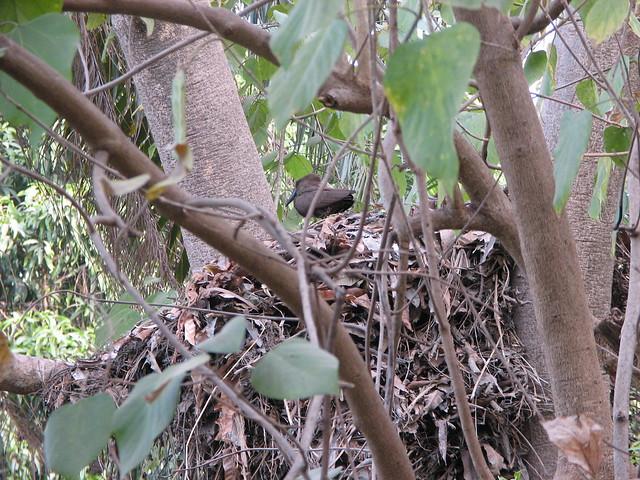 Huge Hamerkop nest