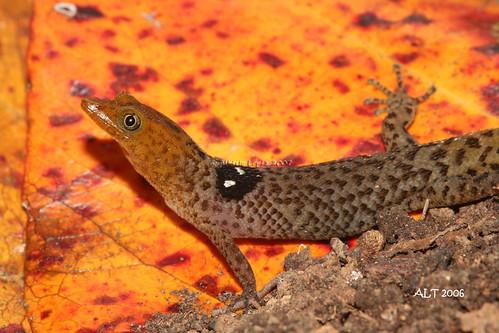 Sphaerodactylus macrolepis guarionex