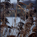 European common reed - Photo (c) Lotte Grønkjær, some rights reserved (CC BY-NC-SA)