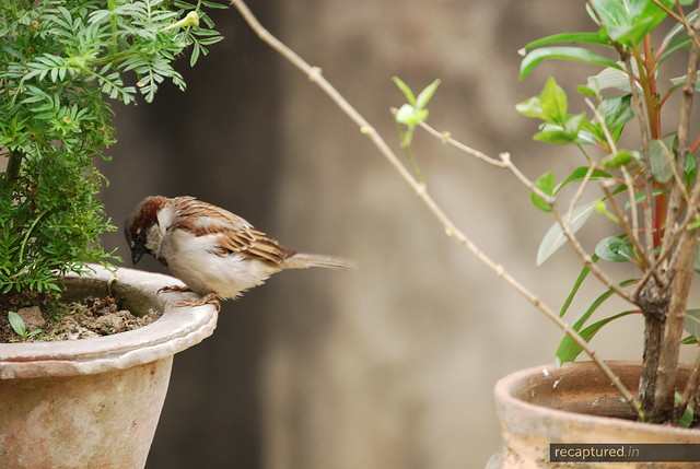 sulking sparrow