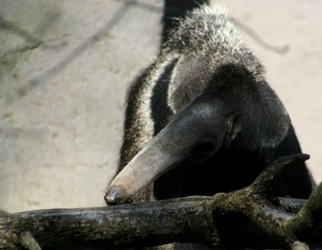What Eats Anteaters