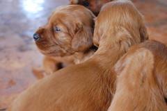 dog breed, animal, dog, pet, nova scotia duck tolling retriever, carnivoran,
